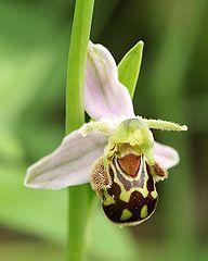 192px-Ophrys_apifera_flower1